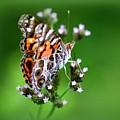 1074- Butterfly by Travis Truelove