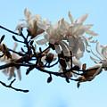 Magnolia Blossoms by Robert Ullmann