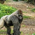 10899 Gorilla by Pamela Williams