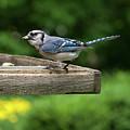Bluejay by Diane Schuler