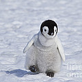 Emperor Penguin Chick by Jean-Louis Klein & Marie-Luce Hubert
