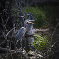 Great Blue Heron by Brandon Smith