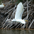 Great Egret Building A Nest by Roy Williams