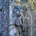 Great Gray Owl by Matthew Gutt
