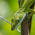 Green Lizard by Willard Killough III