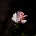 Rose by Avril Christophe