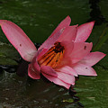 Water Lilly by Ronald Olivier