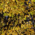 Fall Foliage by Robert Ullmann