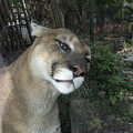 1153 - Mountain Lion by David Lange