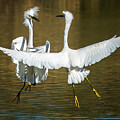 $150 - 11x14 Canvas - Snowy Egrets Fight 3638-112317-2cr by Tam Ryan
