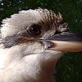 Australia - Kookaburra Poses by Jeffrey Shaw