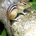 Chipmunk by Ken Keener