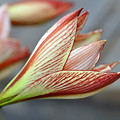 Lilies by LS Photography