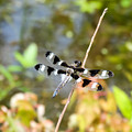 12 Spotted Skimmer Dragonfly 2 by Cynthia Woods