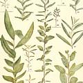 Vintage Botanical Illustration by Alexandr Testudo
