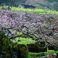 Blossoming Peach Flowers In Spring by Carl Ning
