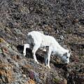 Dahl Sheep, Turnigan Arm by Jacob Read