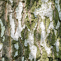 Detail Of Brich Bark Texture by Alain De Maximy