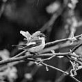 European Pied Flycatcher by Jouko Lehto