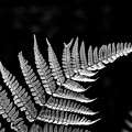 Fern Close-up  by Jim Corwin