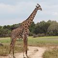 Giraffe by FL collection
