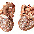 Heart, Anatomical Illustration, 1814 by Science Source