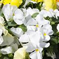,, Flowers ,, by Ricardas Marcinkevicius