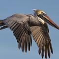 Beautiful Pelican by Paulette Thomas
