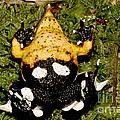 Darwins Frog by Dant� Fenolio