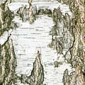 Detail Of Brich Bark Texture by Alain De Maximy