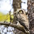 Hawk Owl by Borje Olsson