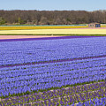 Hyacinths Fields by Andre Goncalves