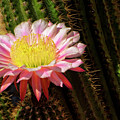 Pink Cactus Flower by Jim And Emily Bush