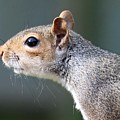 Squirrel by FL collection