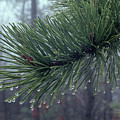 146206 Dew Drops On Pine Needles by Ed Cooper Photography