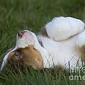 Australian Shepherd Puppy by Jean-Louis Klein & Marie-Luce Hubert