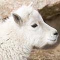 Baby Mountain Goats On Mount Evans by Steve Krull