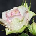 Pink Rose by Elvira Ladocki