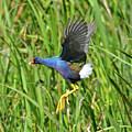 Purple Gallinule by Lindy Pollard