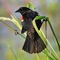Red-winged Blackbird by Lindy Pollard