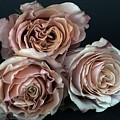 Roses by FL collection
