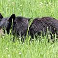 American Black Bear Yellowstone Usa by Bob Savage