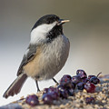 Black Capped Chickadee by Dee Carpenter