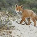 Red Fox Cub by Menno Schaefer
