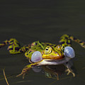 Croaking Frog by Arterra Picture Library
