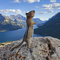 Ground Squirrel, Canadian Rockies by Arterra Picture Library