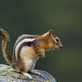 Golden-mantled Ground Squirrel by Arterra Picture Library