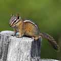 Least Chipmunk by Arterra Picture Library