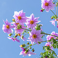Fully Bloomed Pink Dahlia Imperialis At Garden In November by Eiko Tsuchiya