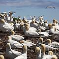 Gannet Colony by Ted Kinsman